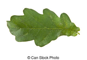 Quercus pedunculata Stock Photos and Images. 23 Quercus.