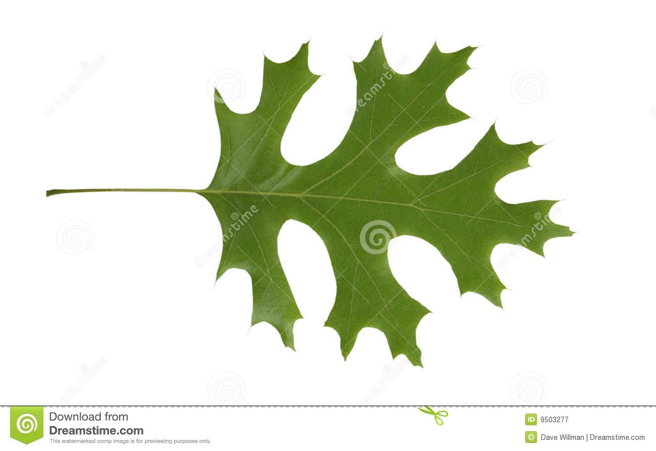 Quercus rubra clipart - Clipground