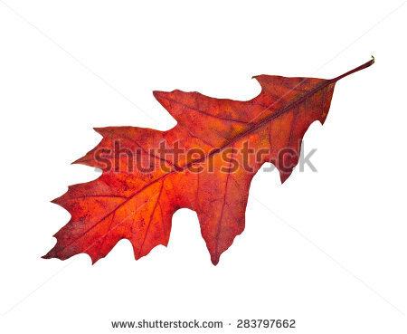 Quercus Rubra Stock Photos, Royalty.