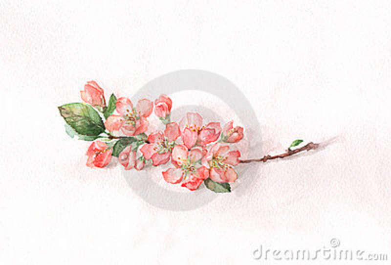 Japanese Quince Blossoms Royalty Free Stock Photos.