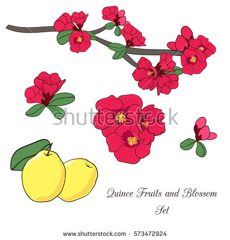 Quince Blossoms Stock Photos, Royalty.