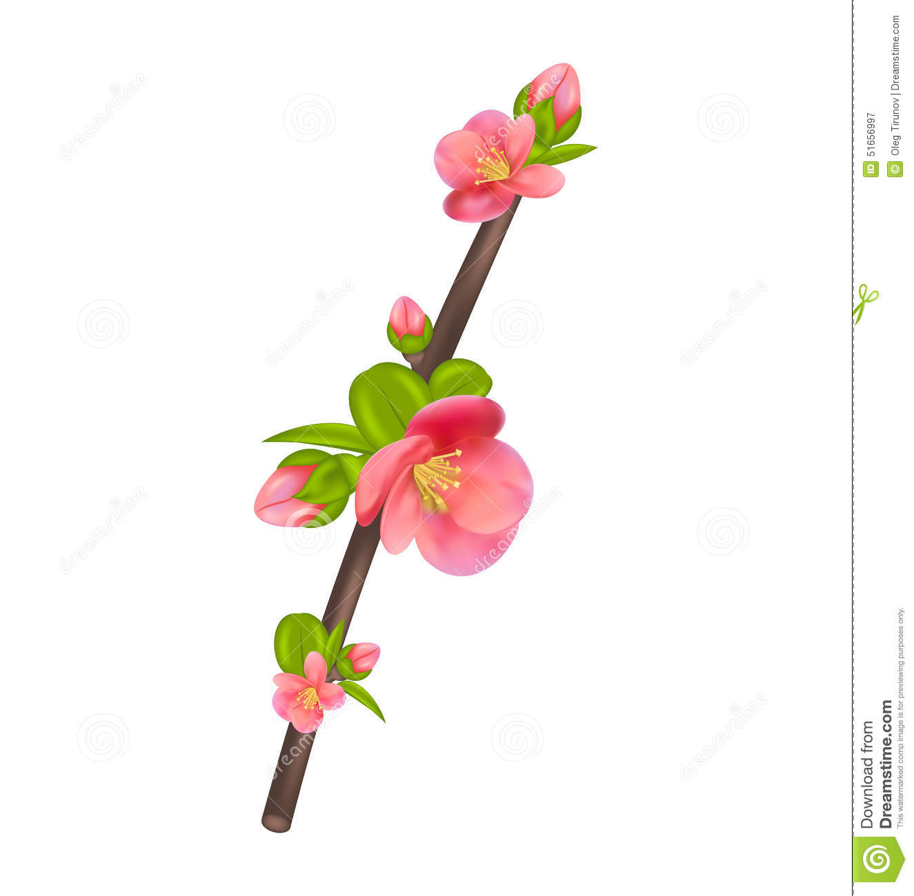 Japanese Quince Branch Blossom Isolated On White Stock Photo.