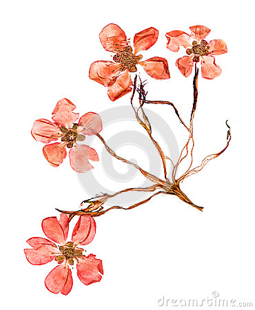 Pressed And Dried Flowers Quince Blossom Stock Photo.