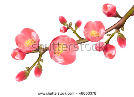 Quince Flower Stock Vectors & Vector Clip Art.