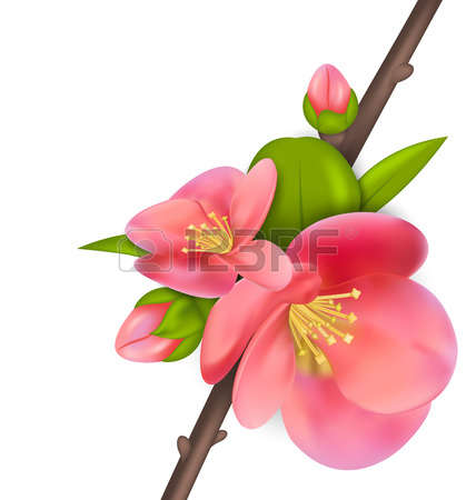 0 Quince Blossom Stock Illustrations, Cliparts And Royalty Free.