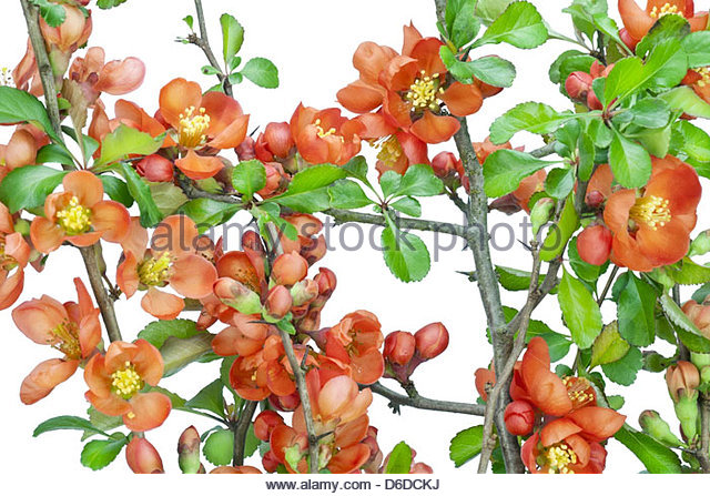 Pink Quince Stock Photos & Pink Quince Stock Images.