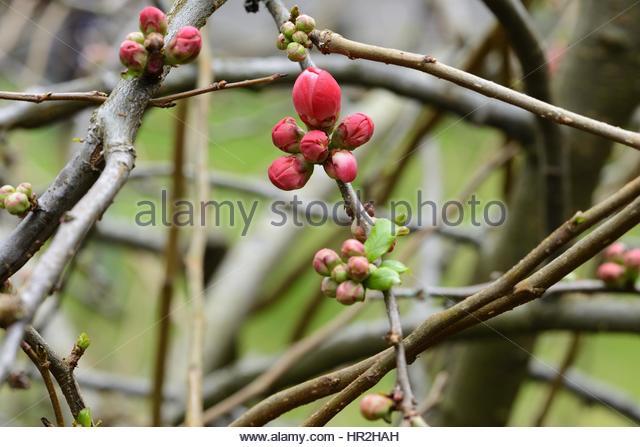 Blossom Chaenomeles Stock Photos & Blossom Chaenomeles Stock.