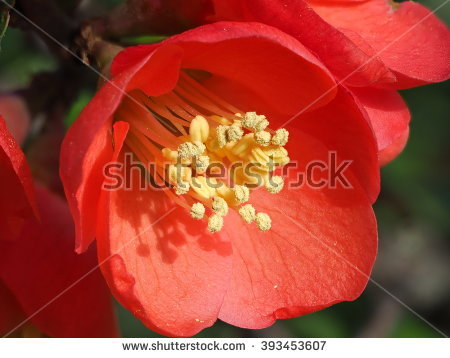 Chinese Flowering Quince Stock Photos, Royalty.
