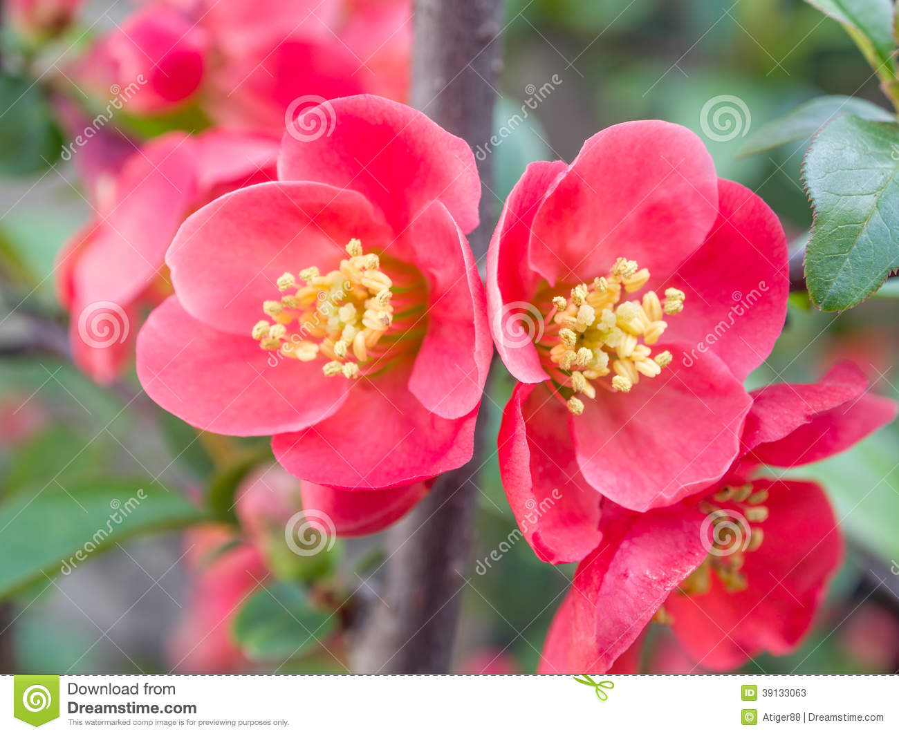 Chaenomeles Speciosa (chinese Quince Flowers ) Stock Photo.