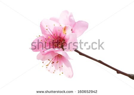 Red Blossom Isolated Stock Photos, Royalty.