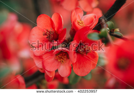 Chaenomeles Japonica Stock Photos, Royalty.