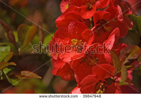A Brightly Colored Coral Flowering Quince Shrub With It'S.