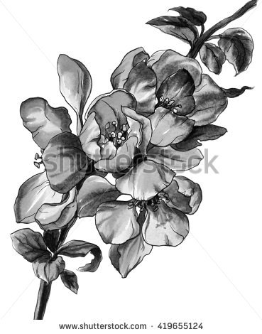 "chinese Flowering Quince"" Stock Photos, Royalty."