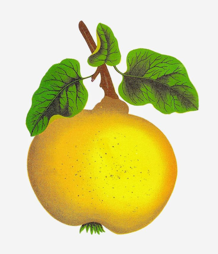 Antique Images: Vintage Digital Clip Art of Fruit Quince Botanical.