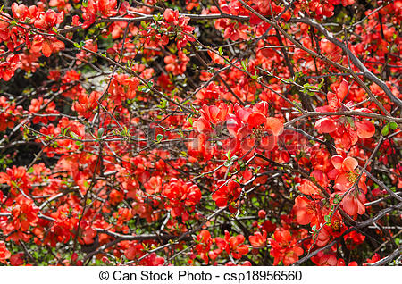Stock Image of Sunlit spring flowering Japanese quince bush with.