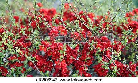 Stock Photo of Japanese Quince k18806943.