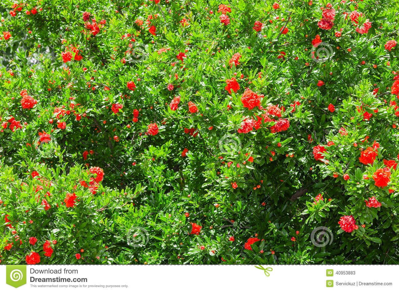 Spring Blooming Japanese Quince Bush Stock Photo.