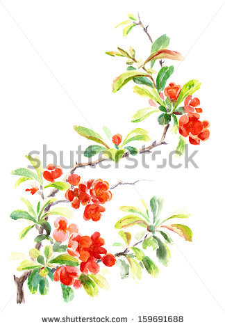 Flowering Quince Stock Photos, Royalty.