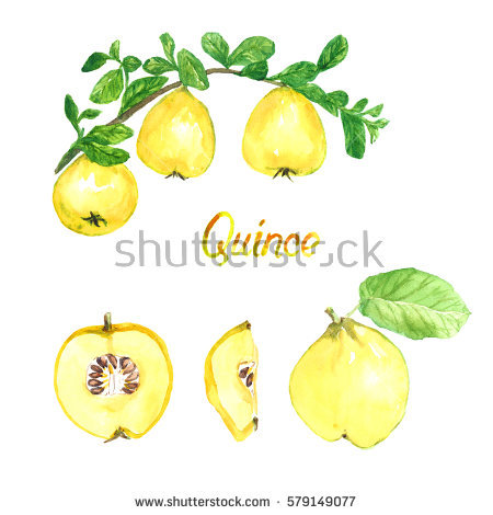 Quinces Orchard Stock Images, Royalty.