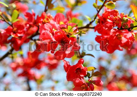 Stock Photography of Quince Bush Blossoms csp6372240.