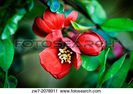 Stock Photography of Chaenomeles, flowering quince, spring.