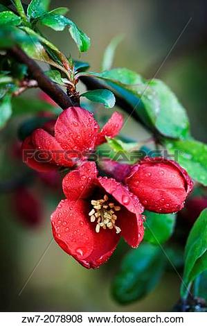 Pictures of Chaenomeles, flowering quince, spring flowering shrub.