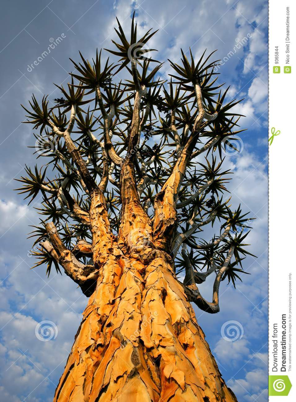 Quiver Tree, Namibia, Southern Africa Stock Images.