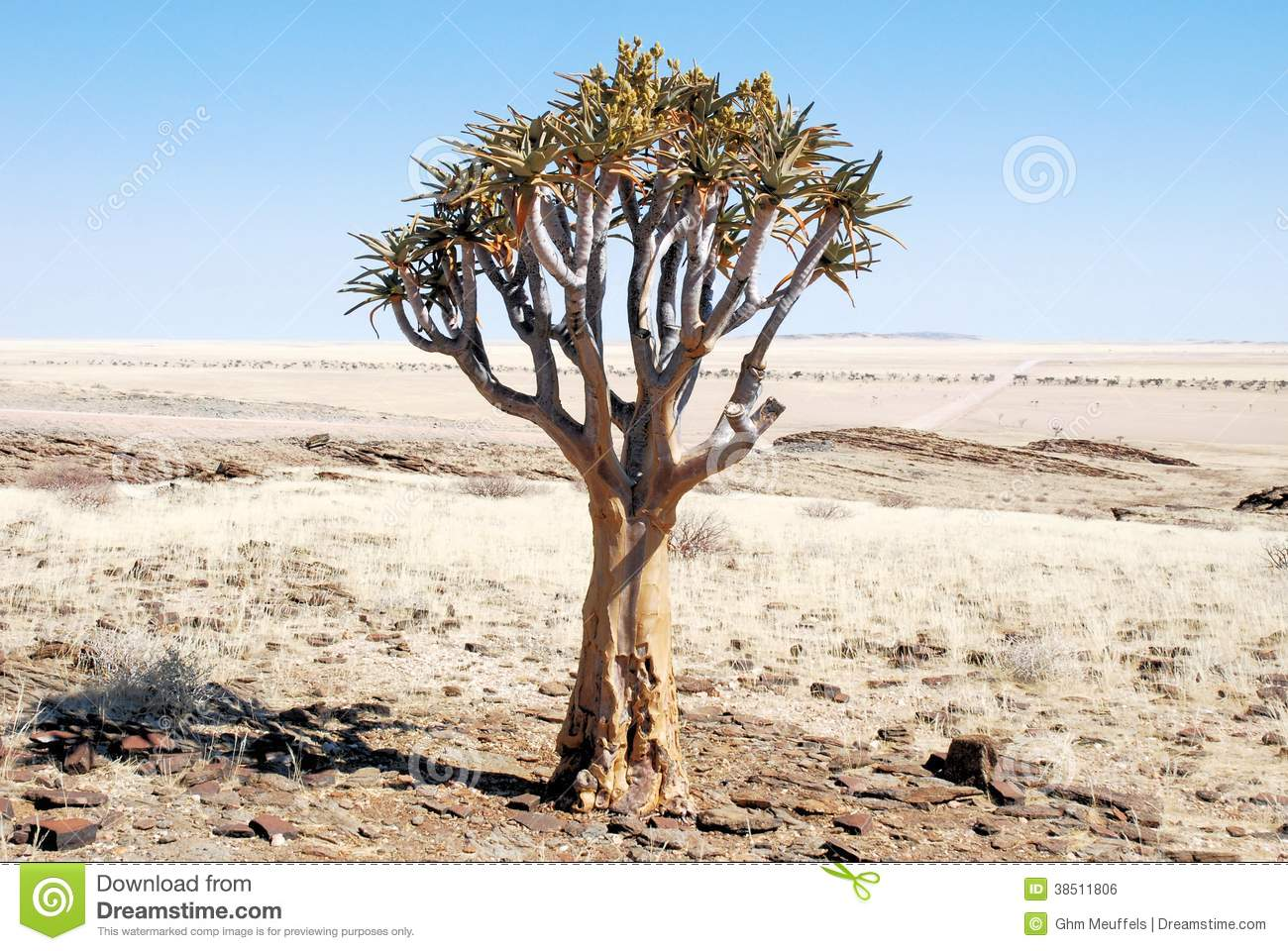 Quiver Tree Or Kokerboom With Flowers In Dry Desert Royalty Free.