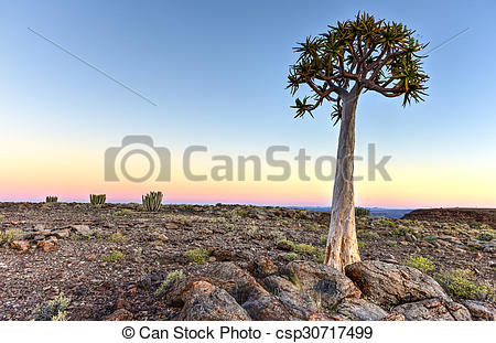 Stock Photographs of Quiver Tree.