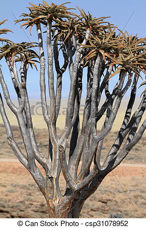 Stock Images of Quiver trees in Namibia csp31078952.