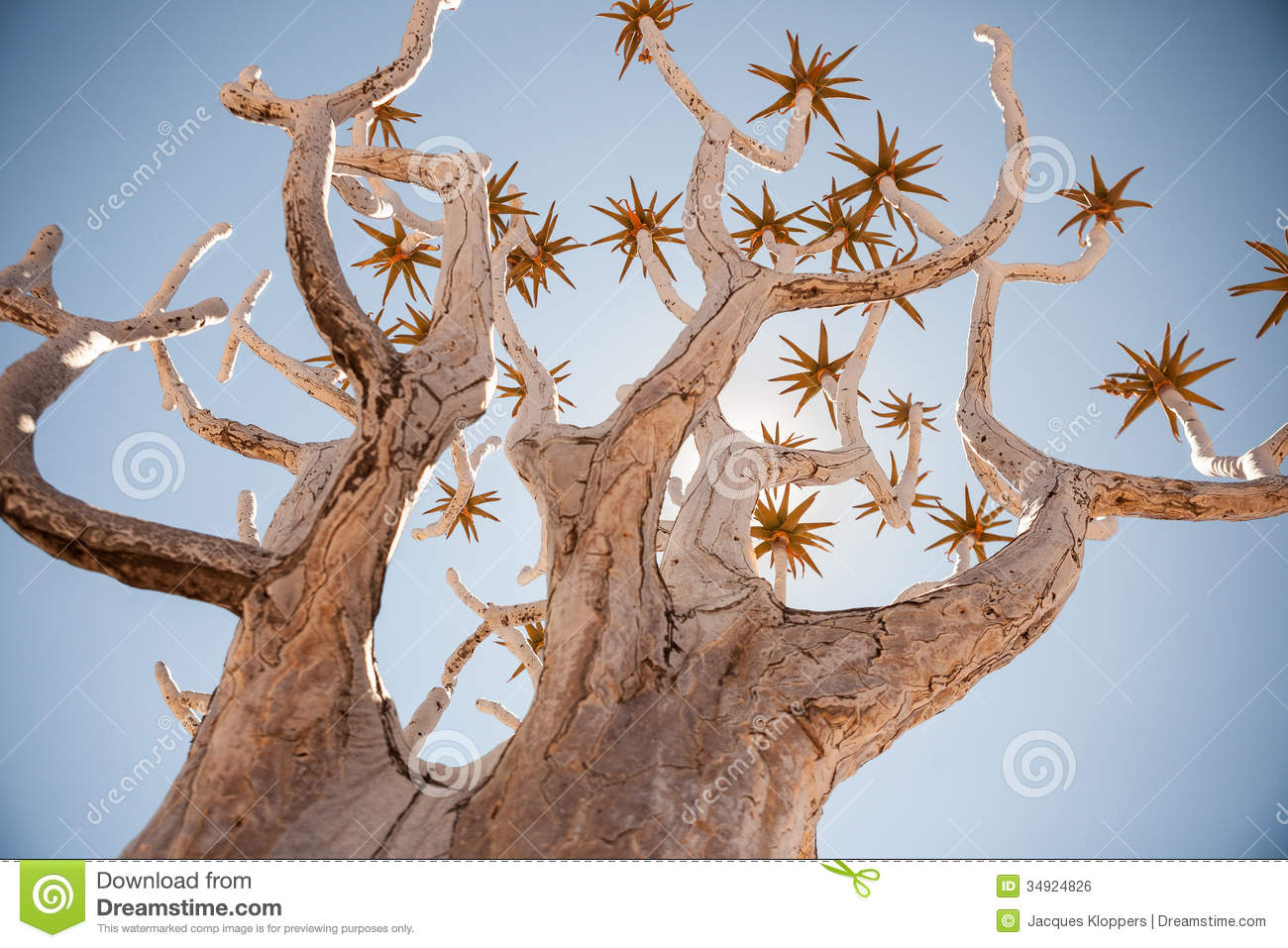 Generic Quiver Tree Shot From Dynamic Angle Royalty Free Stock.