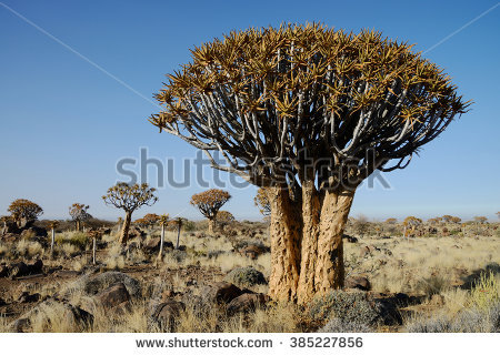 Quiver Tree Forestnamibia Stock Photo 104392208.