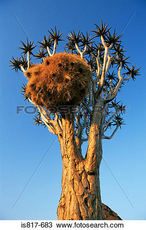 Stock Photo of Weaver bird nest in quiver tree is817.