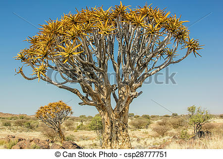 Stock Images of Quiver Tree Forest.