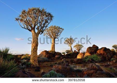 Quiver Tree Stock Photos, Royalty.