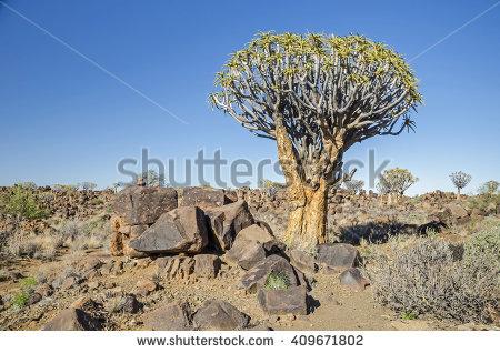 "quiver Tree"" Stock Photos, Royalty."