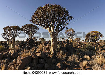 Stock Photography of Quiver trees (Aloe dichotoma) in the Quiver.