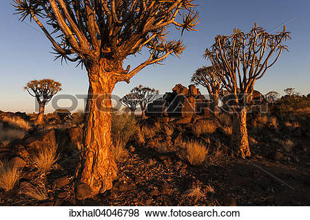 "Pictures of ""Quiver Tree Forest, Quiver Trees (Aloe dichotoma) at."