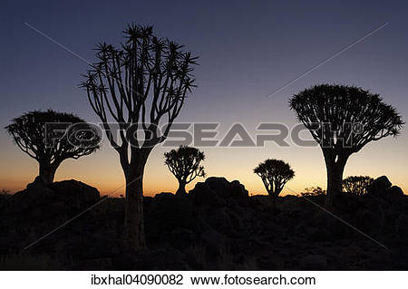 Stock Photo of Quiver trees (Aloe dichotoma) in the Quiver Tree.