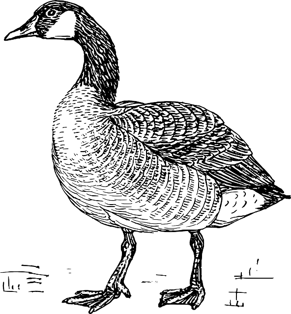 Free vector graphic: Goose, Bird, Domestic, Wildlife.