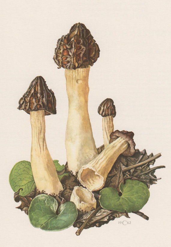 1963 Shield Mushroom, Antique Botanical Print, Vintage Lithograph.