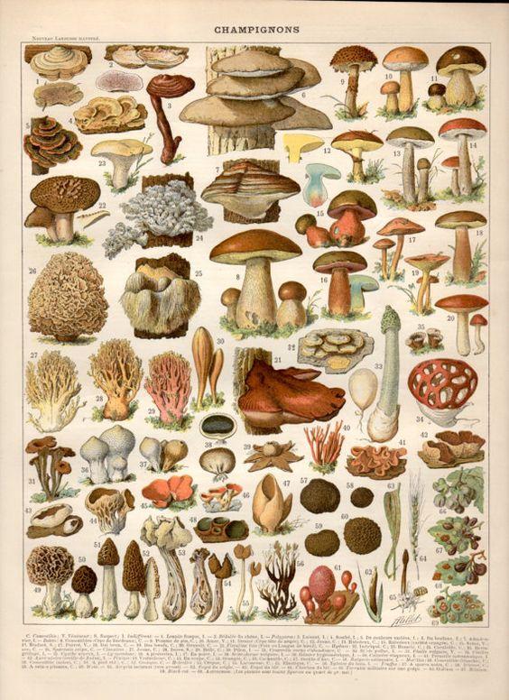 1897 Mushrooms, Antique Print, Vintage Lithograph, Mushroom Print.
