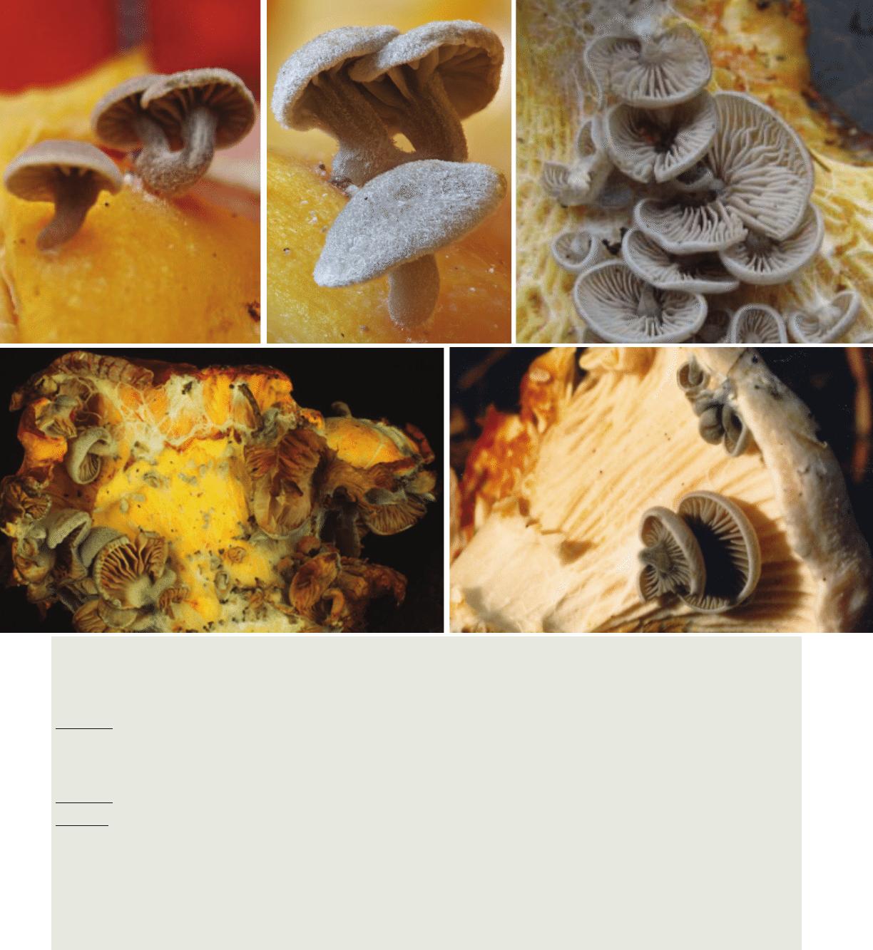 Entoloma parasiticus & E. pseudoparasiticus: Parasites or.