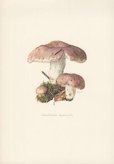 1962 Mushrooms Print, Fungi Illustration, Scleroderma aurantium.