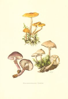 1962 Mushrooms Print, Fungi Illustration, Scleroderma aurantium.
