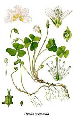 Oxalis acetosella Wood Sorrel.