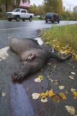Stock Photo of Calf moose, killed along Rabbit Creek Road, lying.