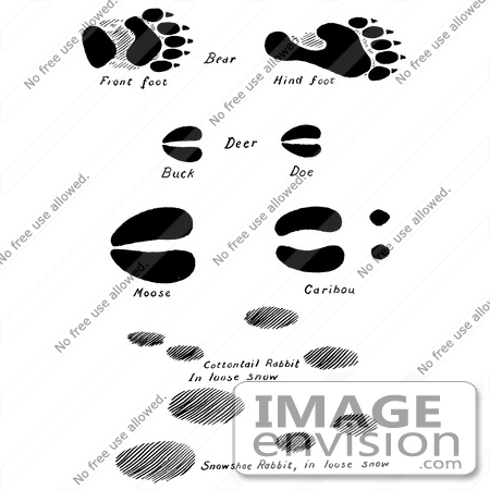Clipart Of Bear Deer Moose Caribou And Rabbit Tracks In Black And.