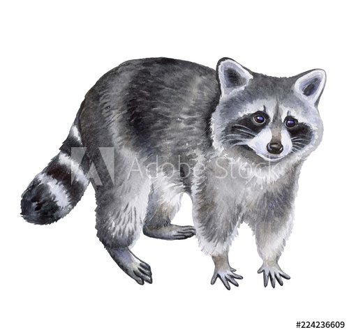 Raccoon isolated on white background. Watercolor.