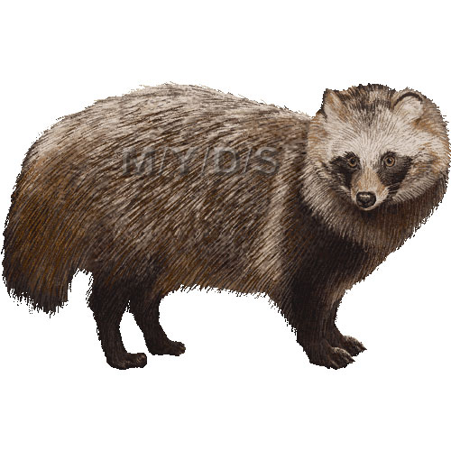 Raccoon Dog clipart graphics (Free clip art.